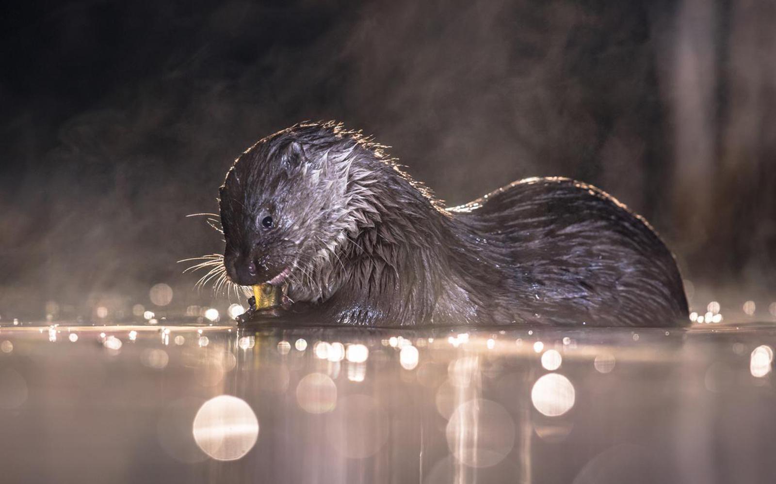 otter leefgebied it fryske gea